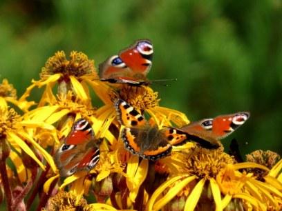 Neitoperhosia ja nokkosperho nauhuksen kukissa.