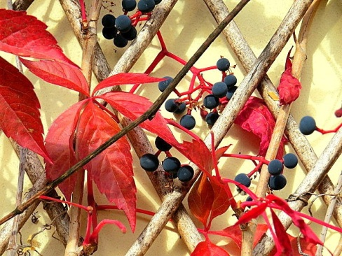 Wildvine on tehe wall is red with small blue grapes.