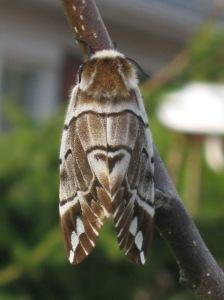 Night butterfly.