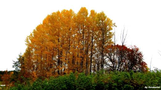 Oranssi puu