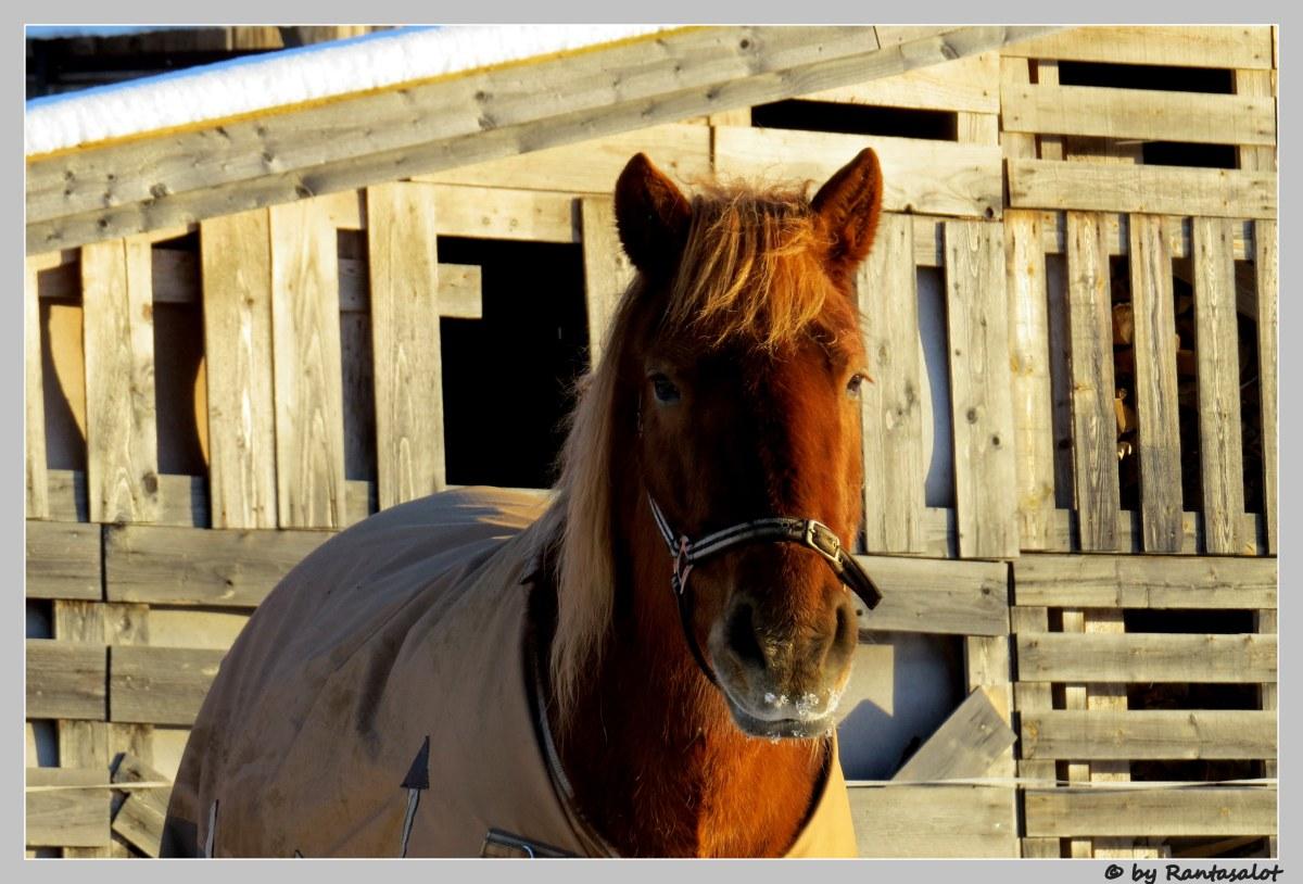 Hevosen naama
