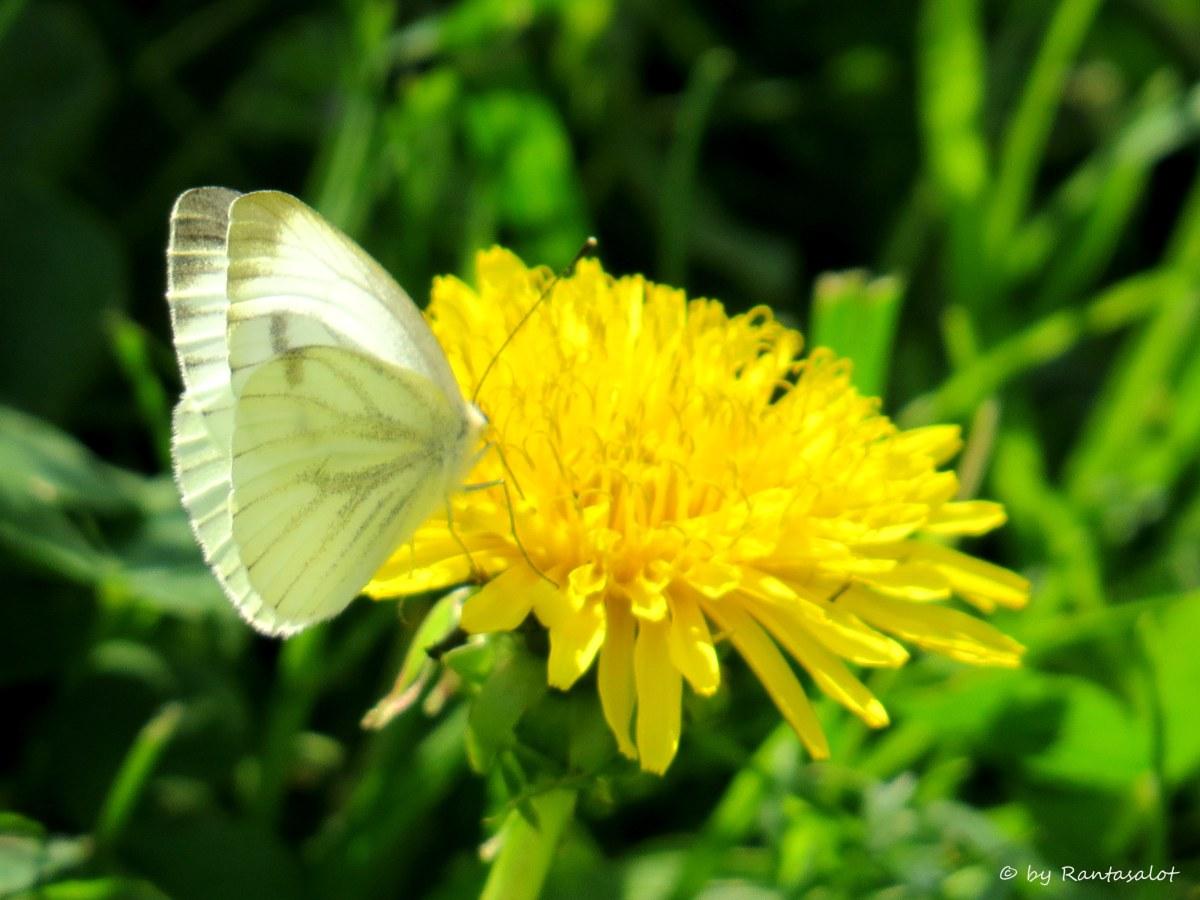 Kukka ja perho.jpg