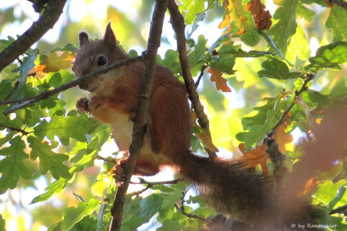 koko-orava
