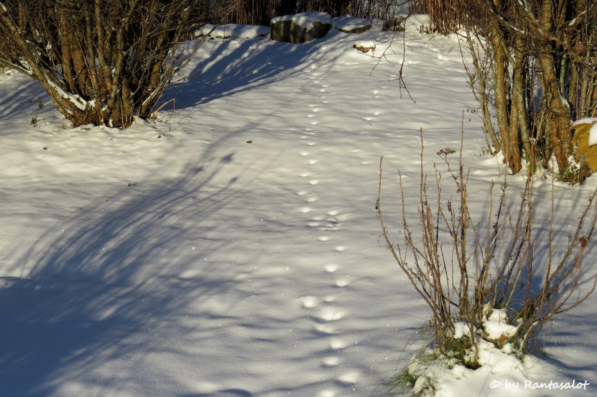 kissanjaljet-lumessa