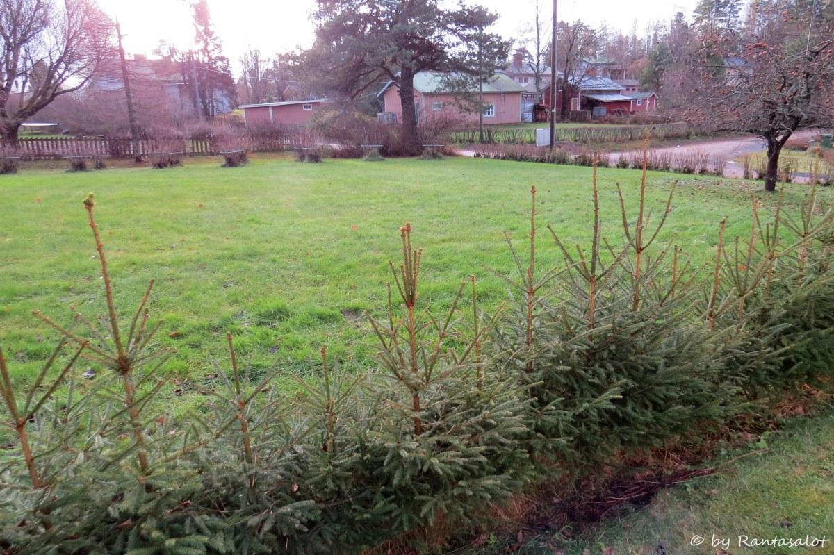 nassin-nurmikko