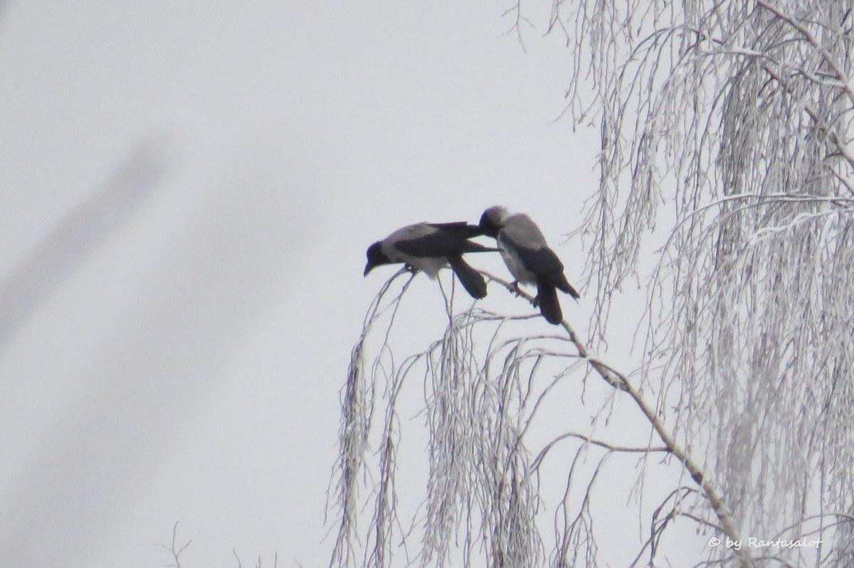 varikset
