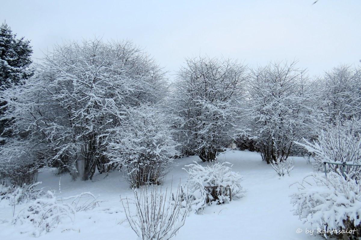 kirsikkapuut-lumessa