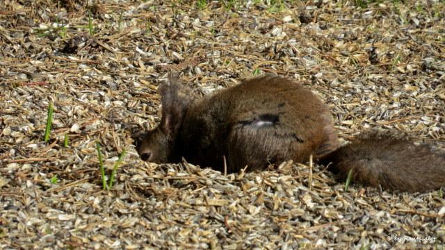 Orava maassa