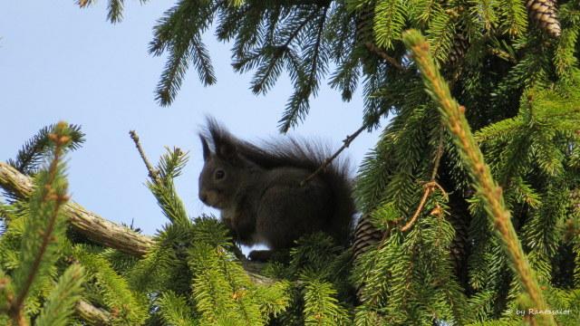 Orava puussa