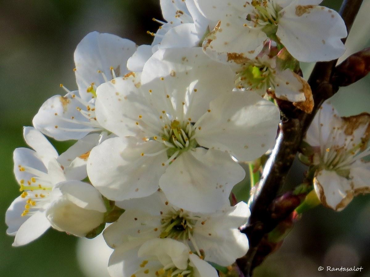 Kirsikankukka3