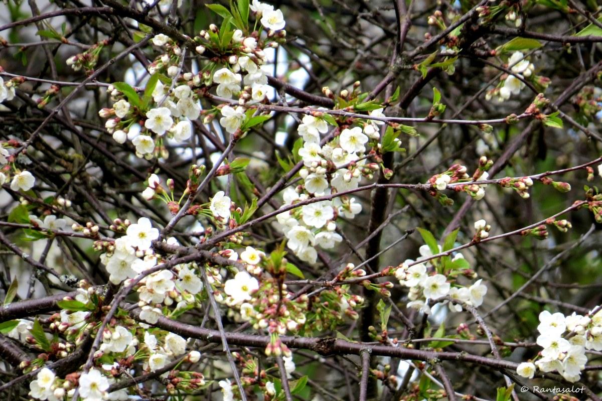 Kirsikka viime vuosi