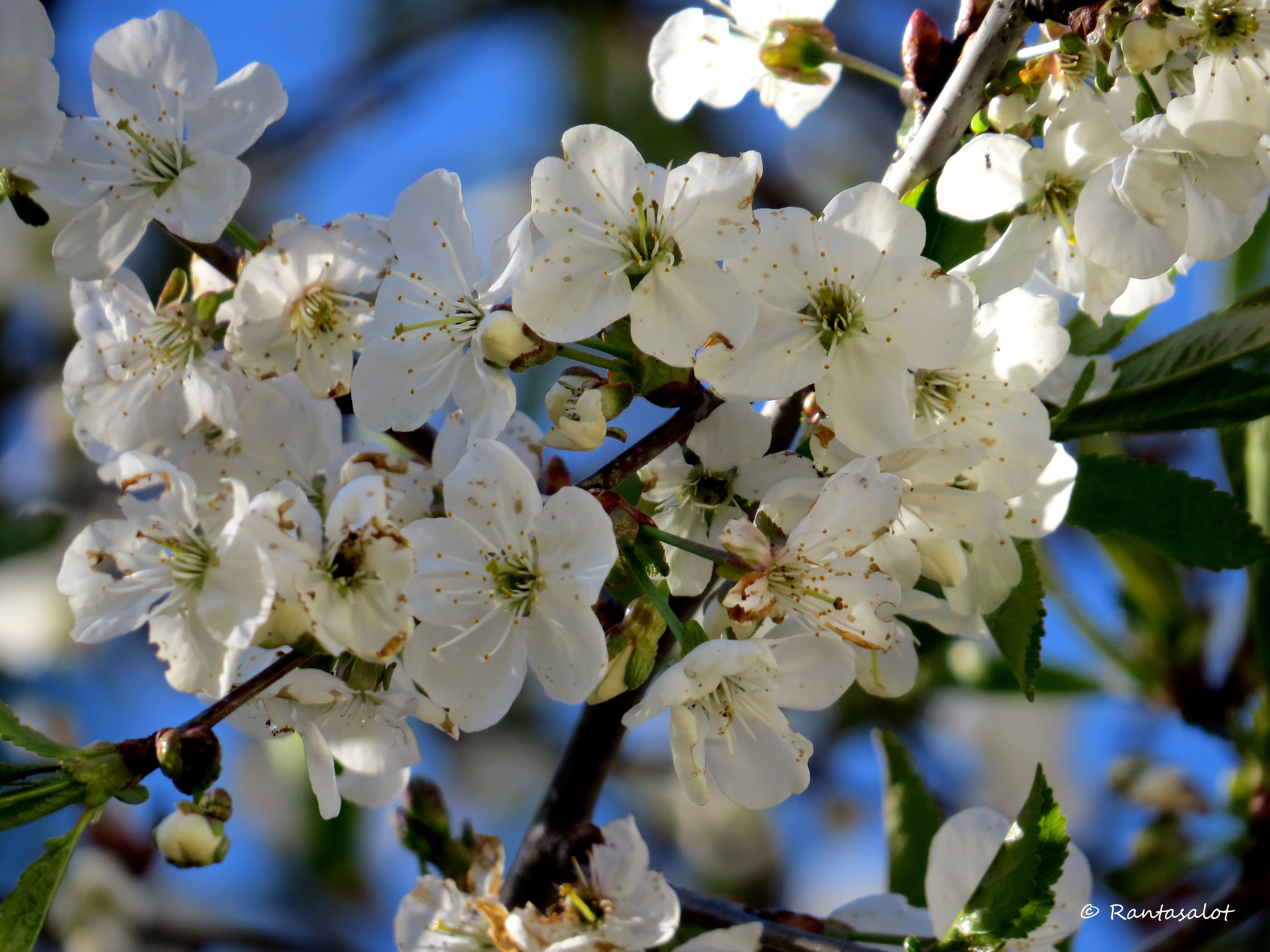 Kirsikkapuun oksa