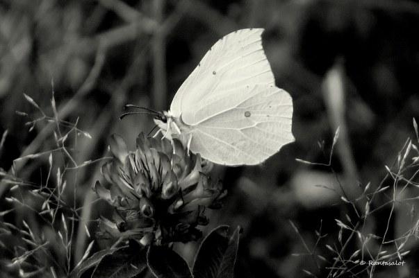 Papillon tämä mv.jpg