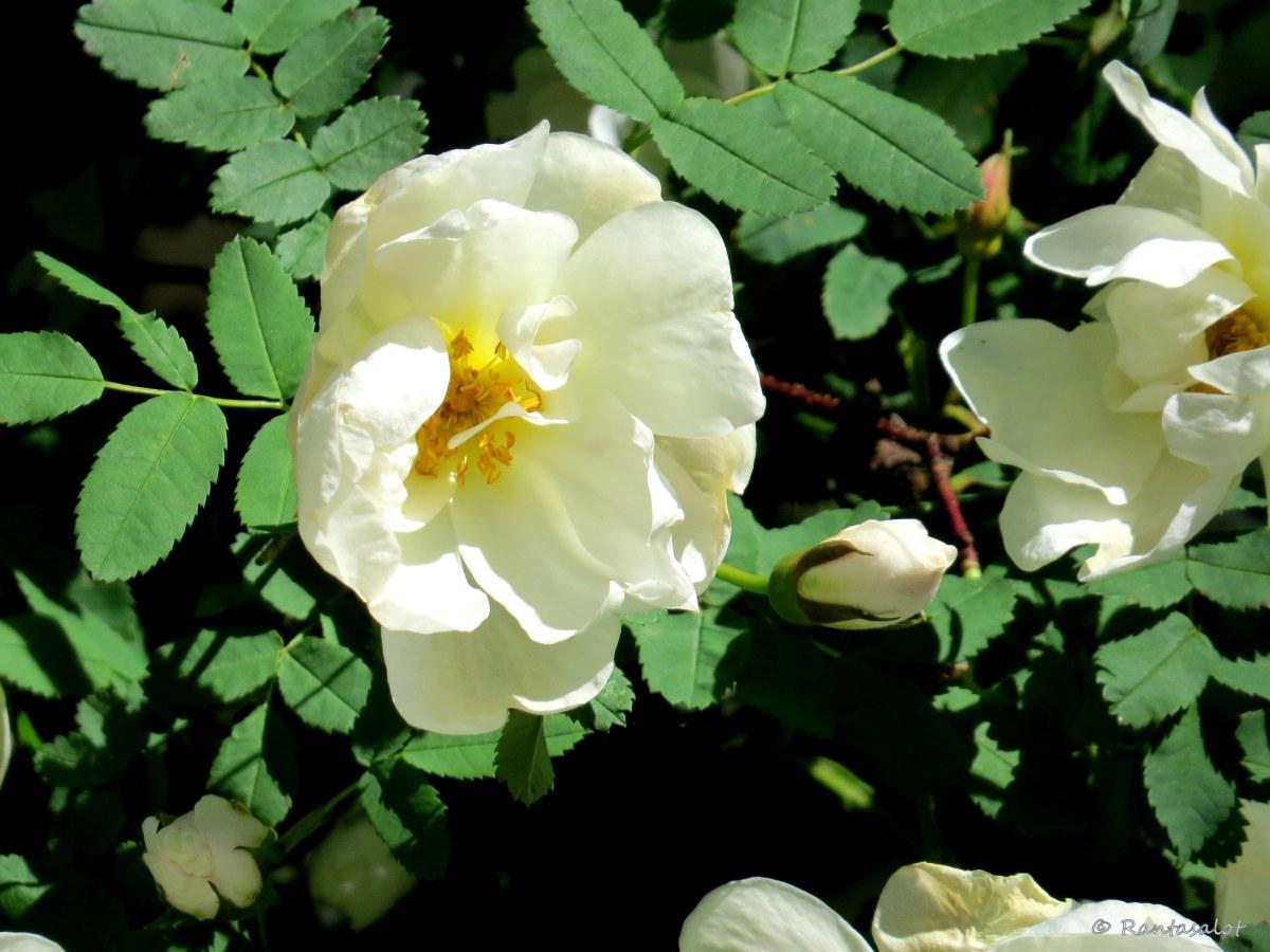 Yksi ruusu