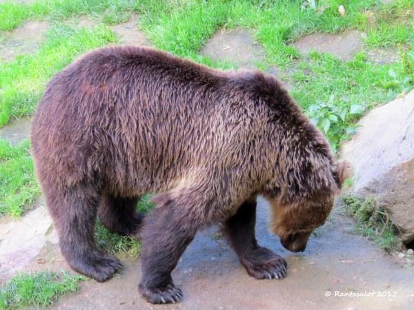 Koko karhu