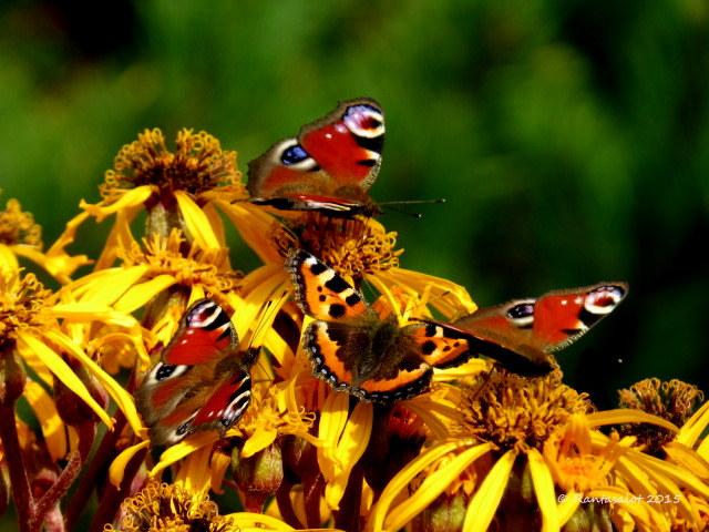 Nauhus täynnä perhosia