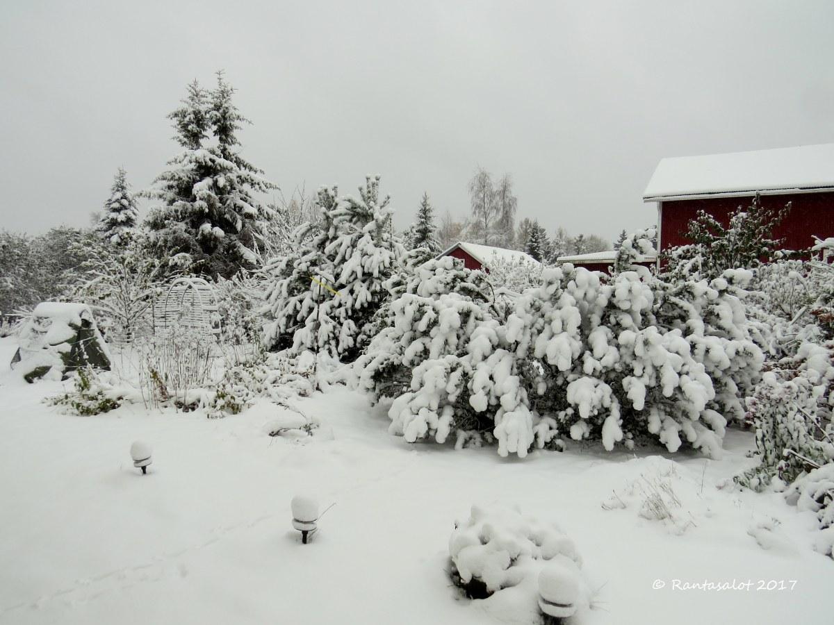 IMG_8572 Vuorimänty ja kuusi lumessa