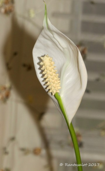 IMG_8680 Kallan kukka