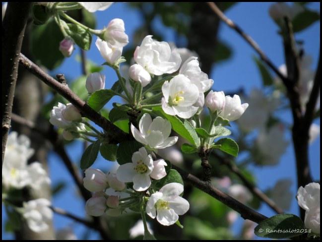 IMG_9065 Omenapuu