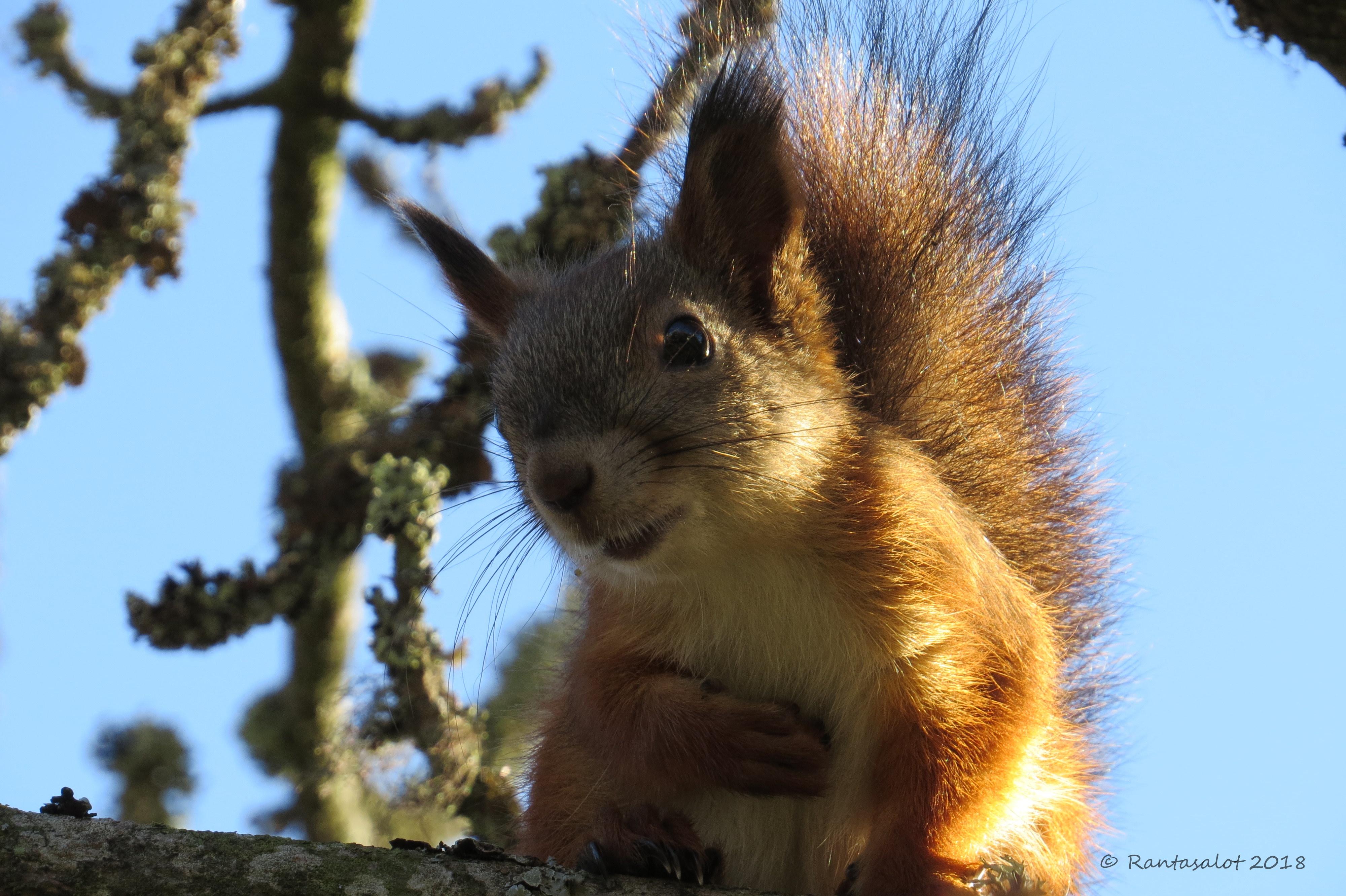 IMG_9685 Naurava orava 1