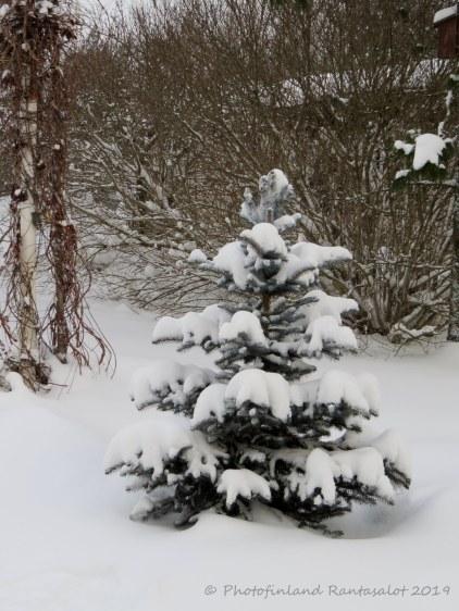 img_9759 sinikuusi lumi