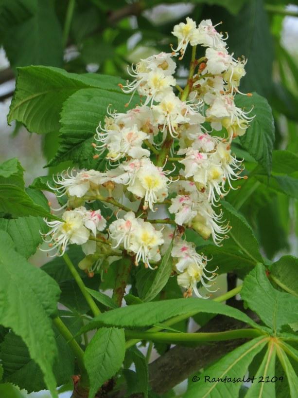 IMG_0244 Hevoskastanjan kukka