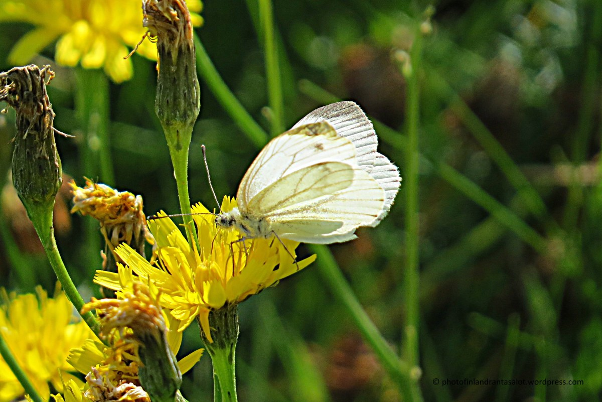 IMG_0541 Valkoinen perhonen