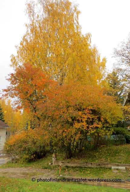 IMG_9666 Kirsikkapuu ja koivu, ruska