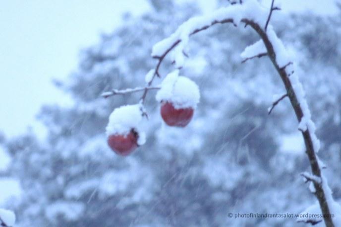 IMG_0117 Omenat lumessa