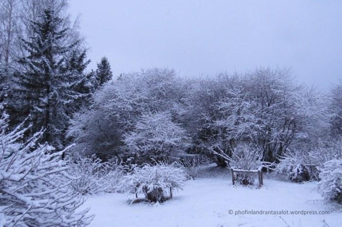 IMG_0123 kirsikkapuuut lumessa