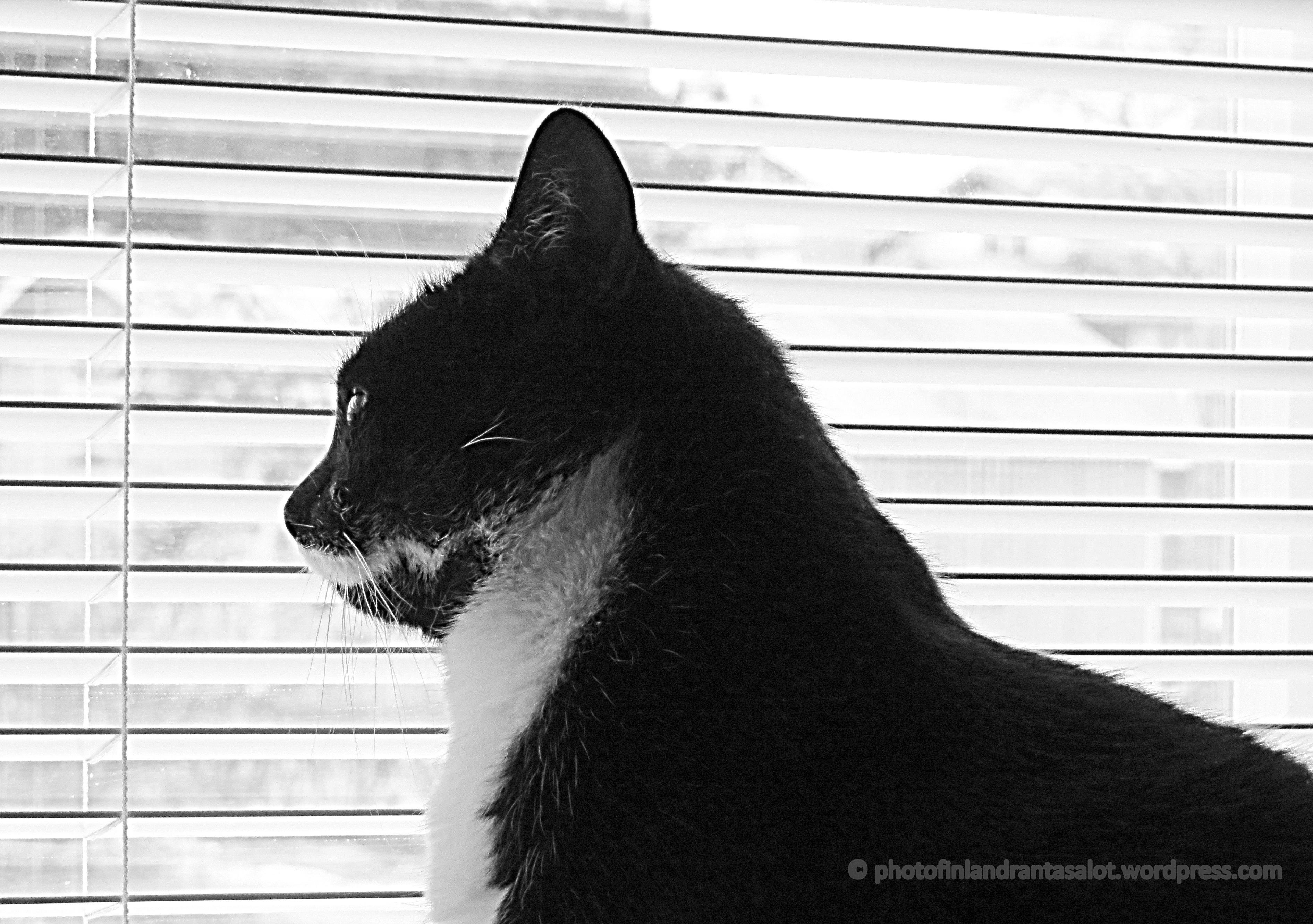 Kissa tarkkailee