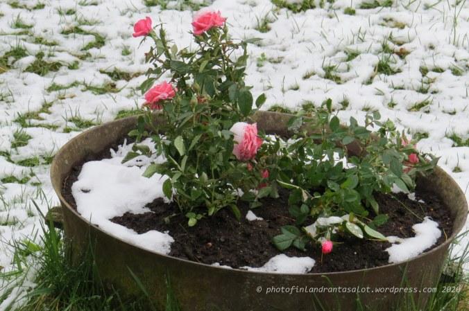 IMG_0354 Ruusut lumessa